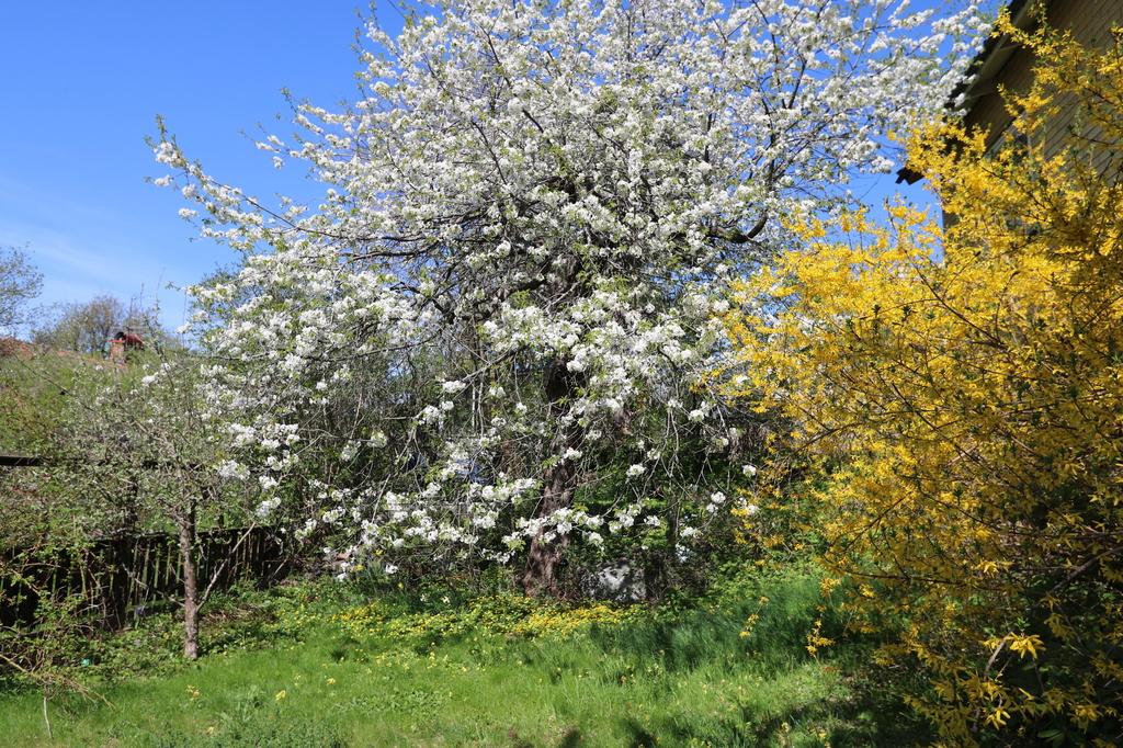 Äppelträd i full blom