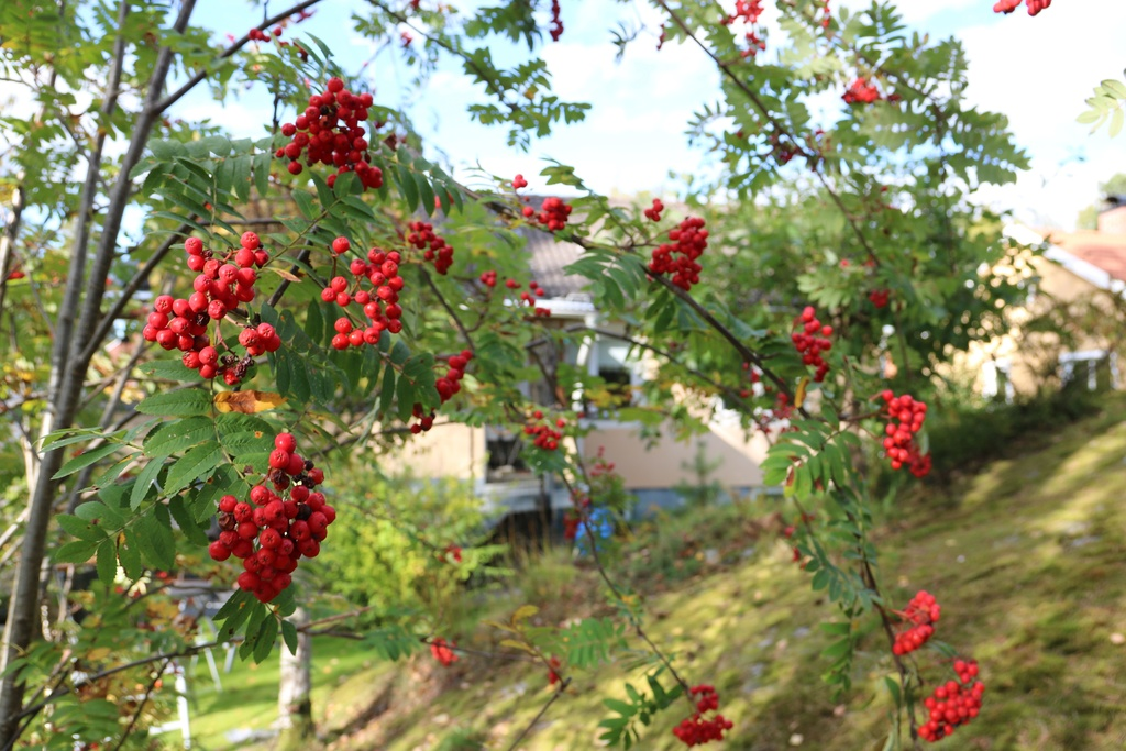 Rönn i trädgården